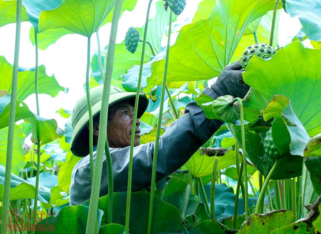 Nông dân Hà Nam bội thu ngày nắng rát nhờ trồng sen lấy hạt
