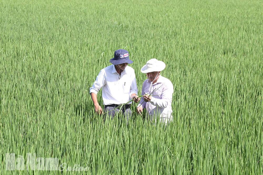 Ngăn ngừa sâu keo mùa thu gây hại trên lúa mùa