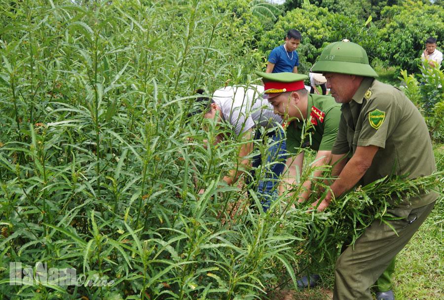 Phát hiện hộ dân ở Nguyễn Úy trồng hơn 30 cây cần sa