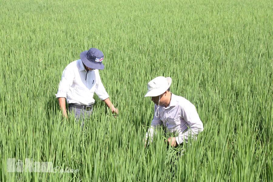 Tập trung chỉ đạo phòng trừ sâu bệnh hại lúa mùa từ nay đến cuối vụ