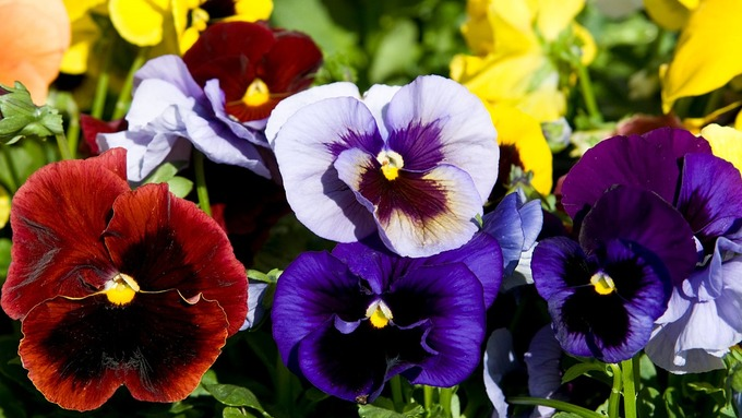 7 loài hoa làm đẹp da