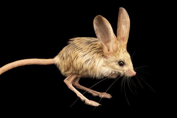 Jerboa Loài vật đáng yêu được kết hợp từ chuột thỏ lợn chuột túi