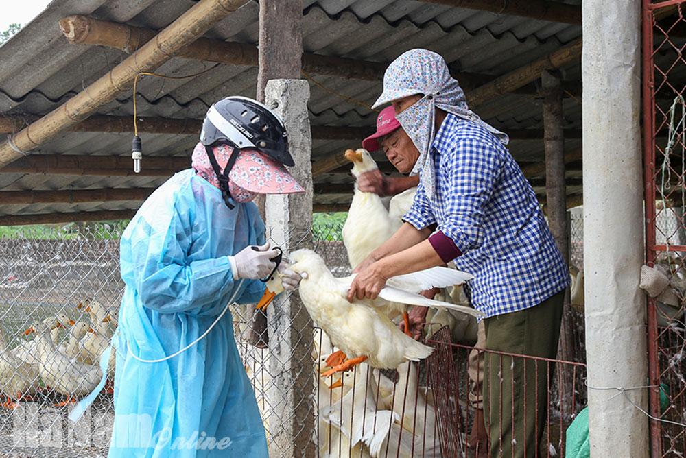 Lý Nhân chủ động ngăn ngừa dịch bệnh nguy hiểm lây lan trên đàn vật nuôi