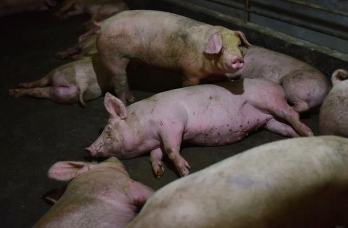Chủng virus corona mới có thể lây từ lợn sang người