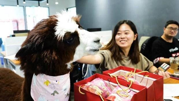 Lạc đà Alpaca Thú cưng mới lạ nơi văn phòng