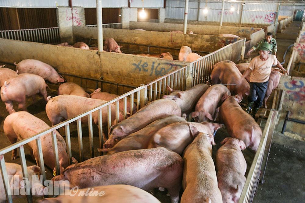 Nguy cơ dịch tả lợn châu Phi lan rộng